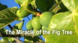miracle_fig